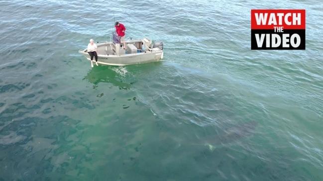 Great White Shark circles tiny boat