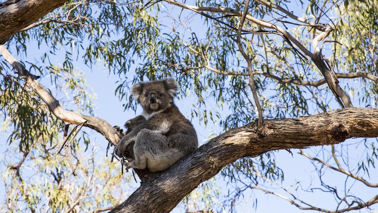 Raymond Island is home to one of Victoria's largest wild koala populations. Picture: Visit Victoria