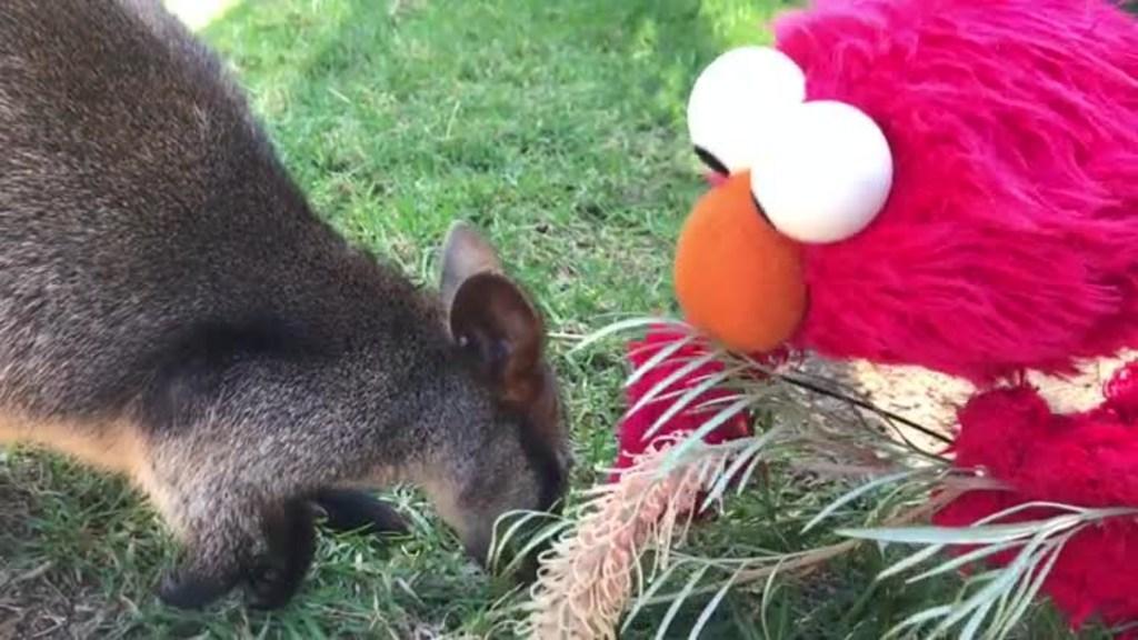 Elmo visits Taronga Zoo