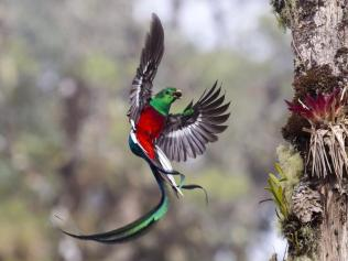 Resplendent delivery by Tyohar Kastiel showing a male quetzals with a wild avocado in his beak.