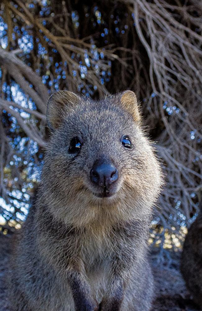 So please, do not ask her about this quokka.
