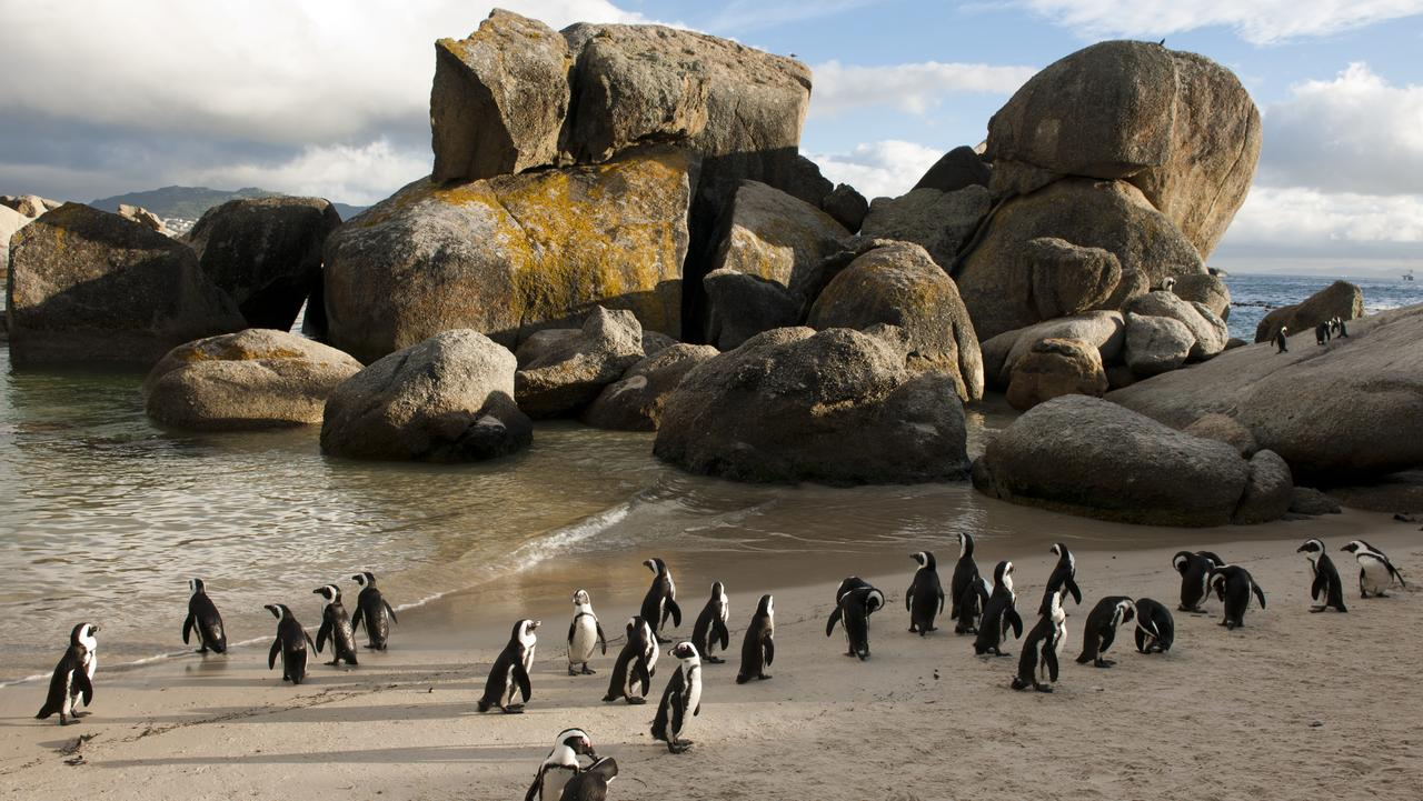 TOP TEN AFRICA .. for Tony Park story .. African penguins at Boulders Beach, Cape Town, South Africa
