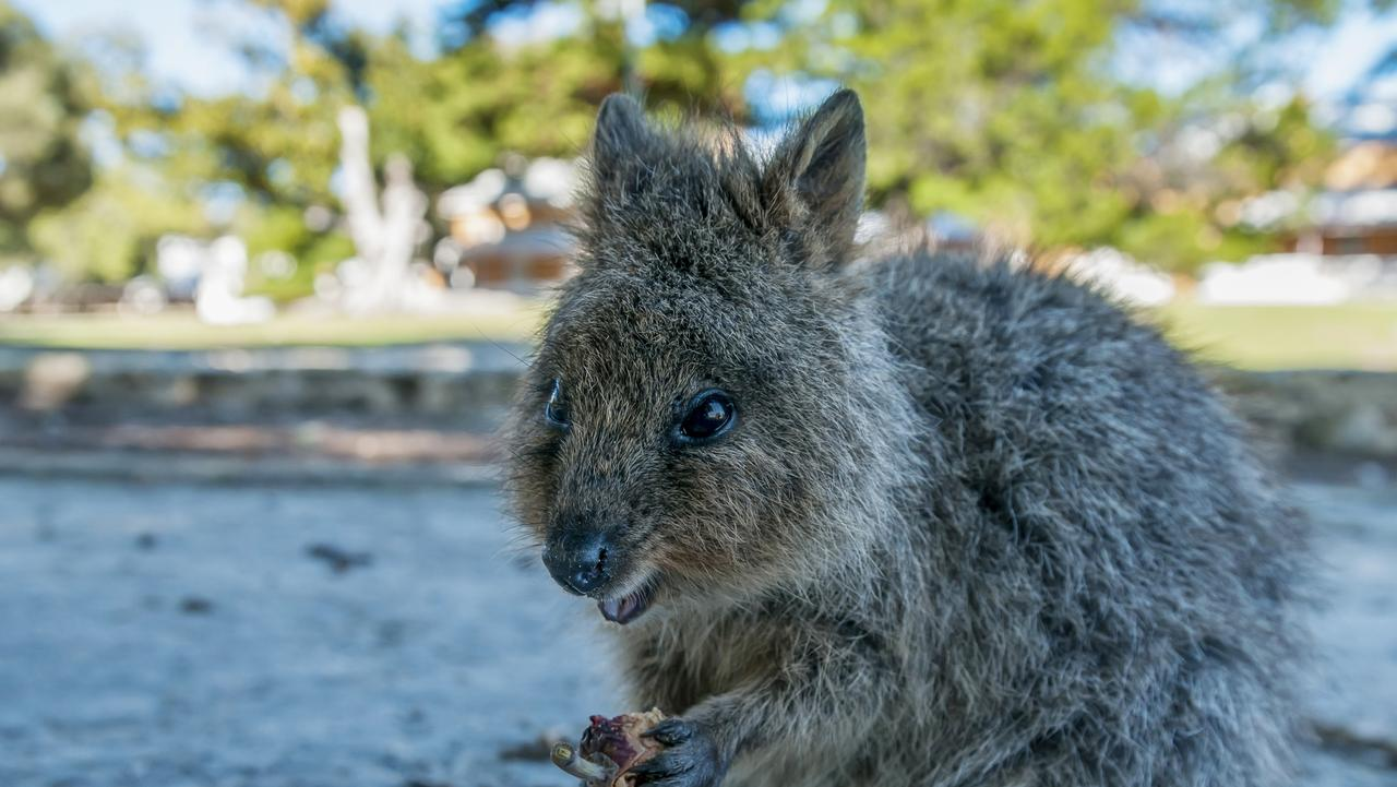 Quokka cutie on Rottnest Island — included in Lonely Planet's top 10 for 2017. Picture: iStock