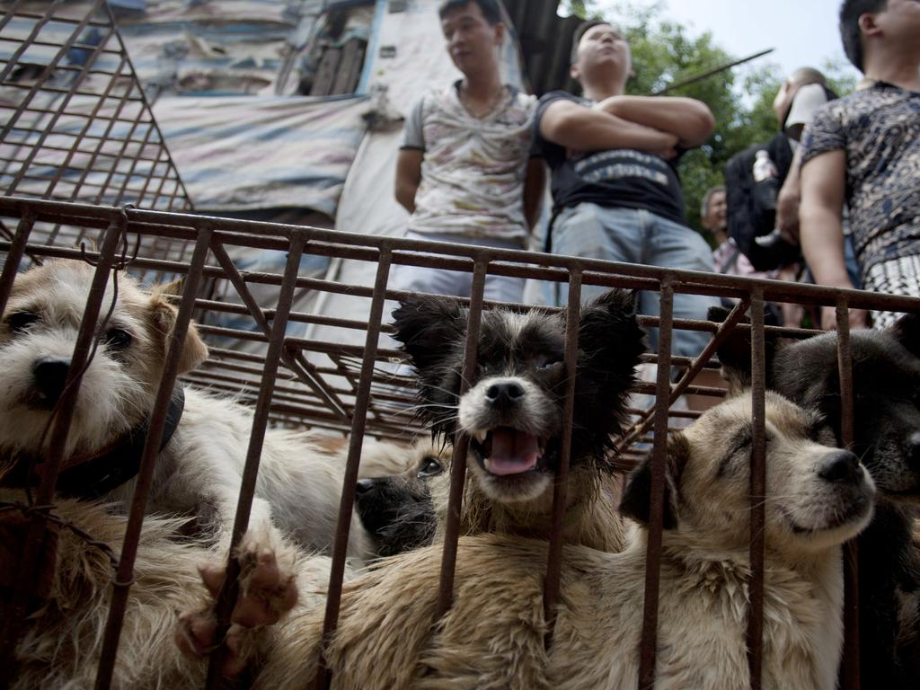 Vendors wait for customers to buy dogs in cages at a market in Yulin, in southern China's Guangxi province. Picture: AFP /STR