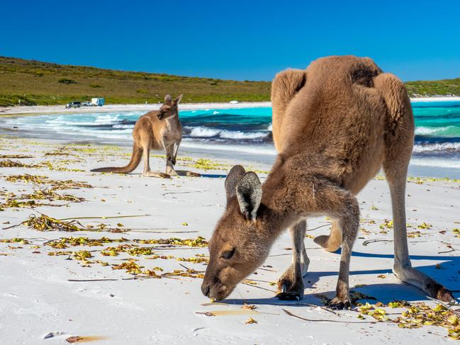 THE ROOS SNOOZE ON SEAWEED Esperance's most famous attraction is undoubtedly Lucky Bay and its kangaroos. There aren't many places in Australia where kangaroos regularly hop up and down the beach and, when they're coupled with the whitest sand in Australia, it's easy to see why Lucky Bay is such a bucket list destination. One of the big reasons the kangaroos are so drawn to the beach at Lucky Bay is the seaweed that regularly washes up here. Picture: Mark Fitz