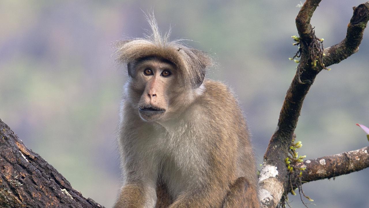 Long-haired toque monkey (macaca sinica), Adam's Peak (2243m).