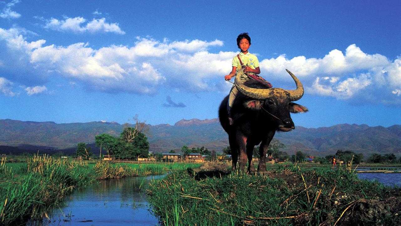 Boy child riding Buffalo to Nyaungshwe on Inle Lake Myanmar, Burma. (Pic: Bernard Napthine, Lonely Planet)