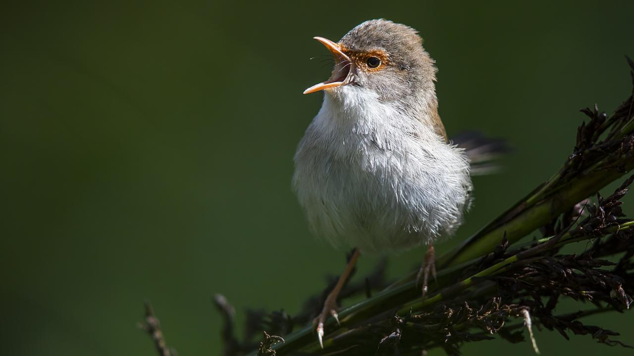 A fairy wren in song. BirdLife Australia is calling on Australians to join the country's biggest citizen science event, the Aussie Backyard Bird Count.