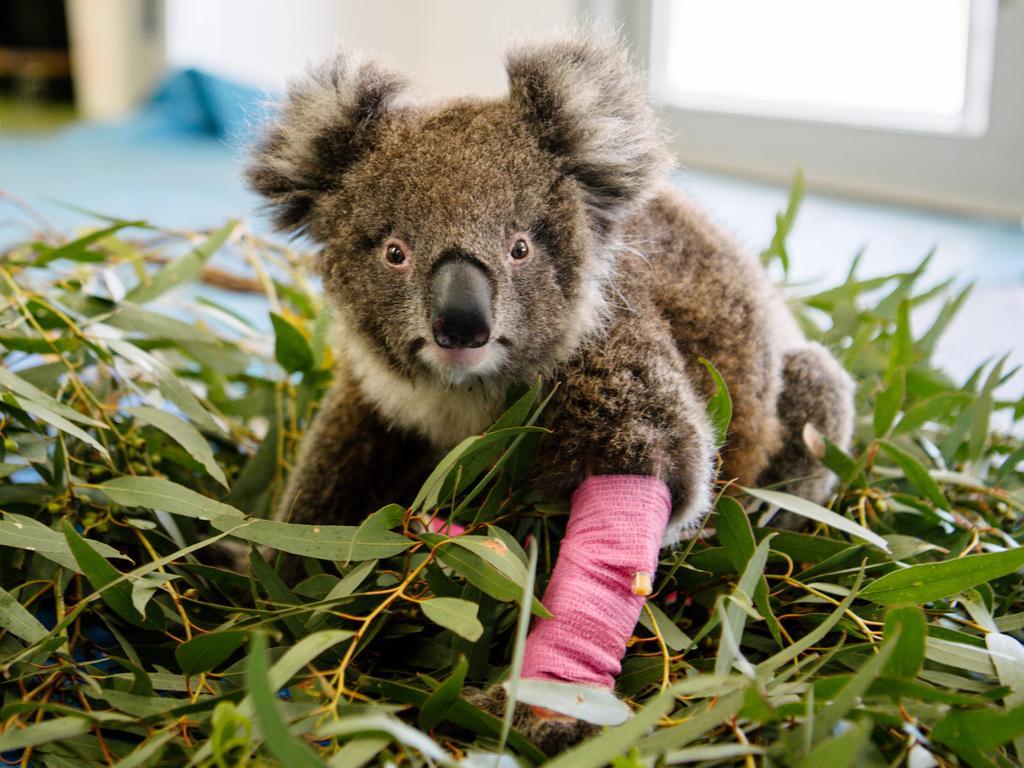 Baby koala Charli in Adelaide last month. Picture: Morgan Sette/AAP