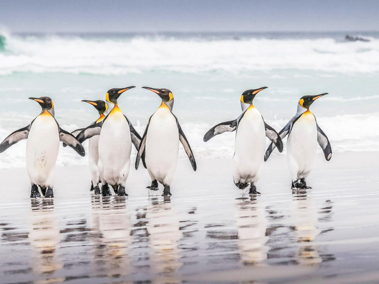 A waddle of King Penguins on the beach.