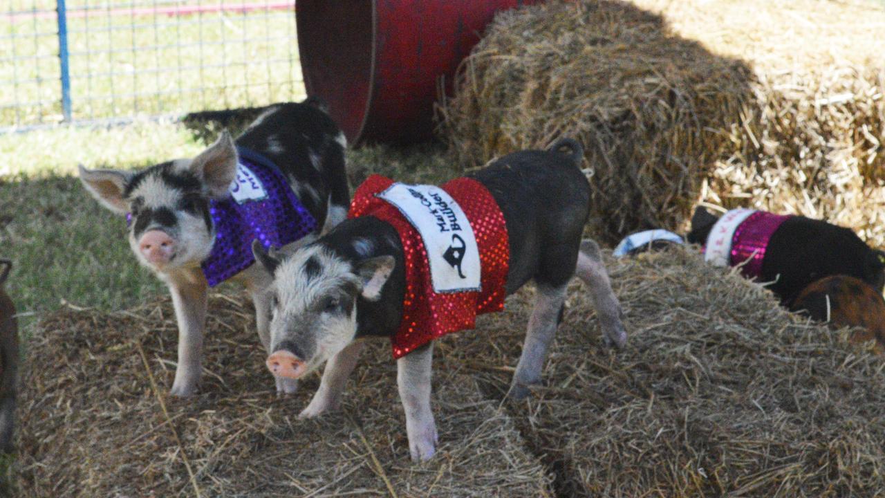 Sandy Creeks Pig Races