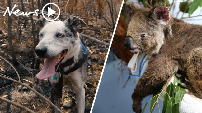 Bushfires: Meet Bear the koala rescue dog