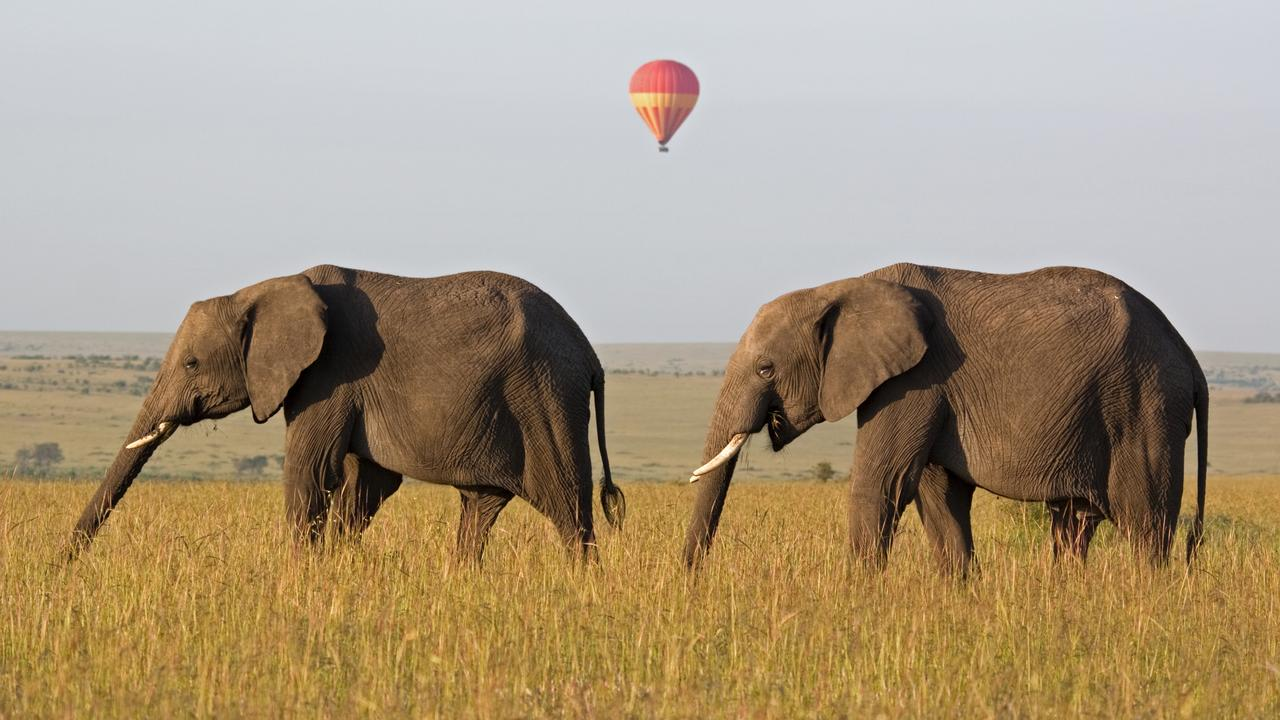 A new census has revealed a surge in elephant numbers in Kenya, following a concerted campaign against poaching. This pair of African elephants is strolling the savanna in the Kenyan Maasai Mara National Reserve. Picture: iStock