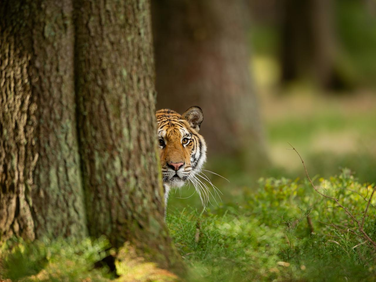 Tiger peeping from behind a tree. Dangerou animal in the forest. Siberian tiger, Panthera tigris altaica