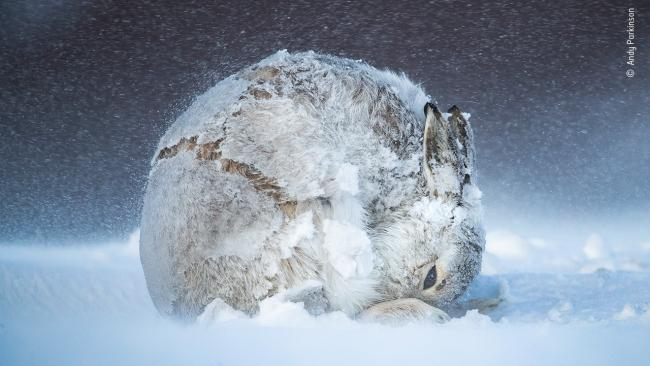 """22/25'Hare ball' by Andy Parkinson, UK""""Andy spent five weeks watching the mountain hares near Tomatin in the Scottish Highlands, waiting patiently for any movement – a stretch, a yawn or a shake – which typically came every 30 to 45 minutes. As he watched, frozen and prostrate, with 50 to 60 mph winds surging relentlessly around him, the cold started to distract and his fingers clasping the icy metal camera body and lens began to burn. Then relief came as this little female moved her body into a perfect spherical shape. A movement of sheer joy. Andy craves such moments: the isolation, the physical challenge and, most importantly, time with nature.""""Picture: Copyright Andy Parkinson, Wildlife Photographer of the Year"""