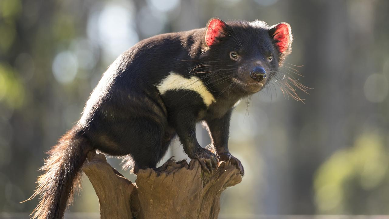 Tasmanian devil numbers in the Tasmanian bush have declined by about two-thirds but the future is looking brighter for the much-loved marsupial. Picture: Aussie Ark