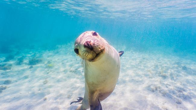 22/25Sea lion swimming, Baird Bay, SA Water-loving families will thrive on swimming with playful sea lions off the Eyre Peninsula. Baird Bay Ocean Eco Experience runs a morning tour suitable for families, and its vessel is also wheelchair friendly.