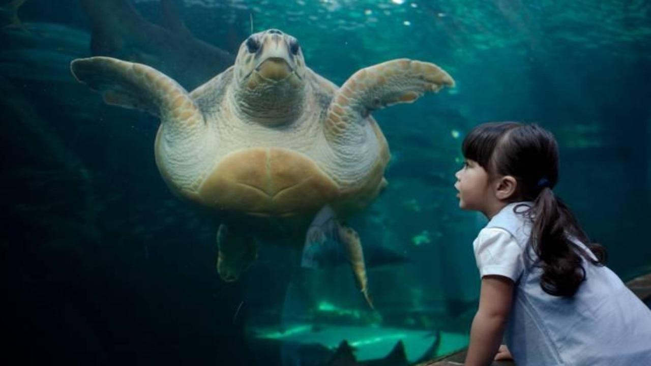 Yoshi the turtle before set off on her journey. Picture: Two Oceans Aquarium