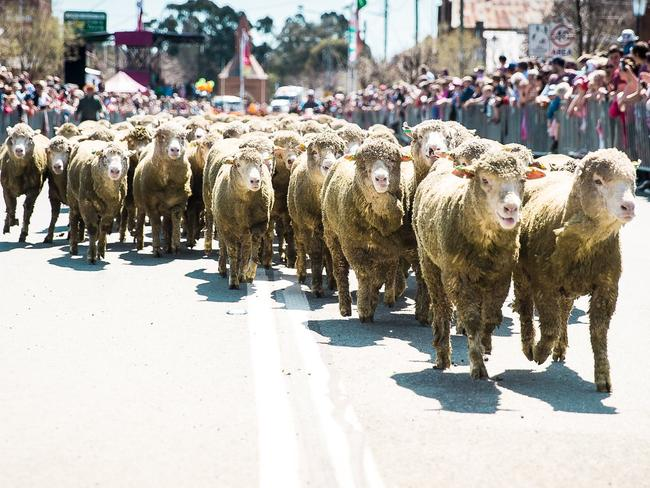 RUNNING OF THE SHEEP, BOOROWA, NSW It might not rival the Running of the Bulls just yet, but at Boorowa, crowds gather to watch merinos as they are shepherded down the road. irishwoolfest.com.au