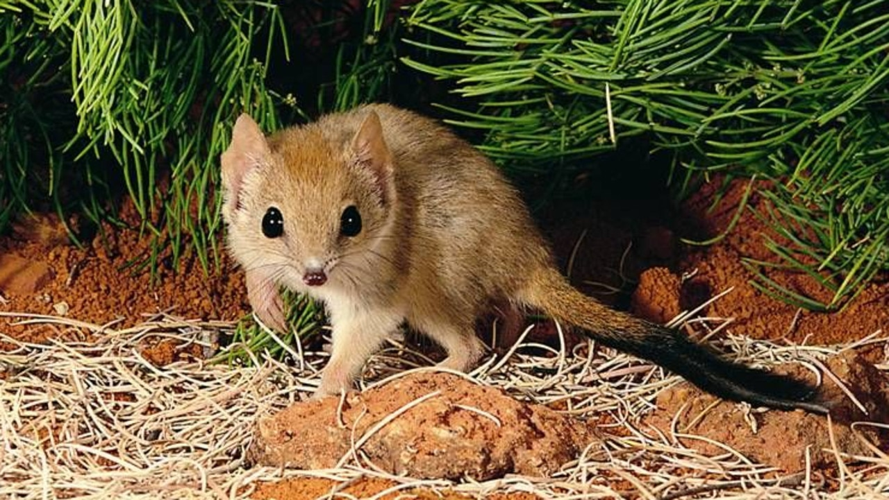 Mulgaras have been reintroduced into a protected area in northwest NSW.