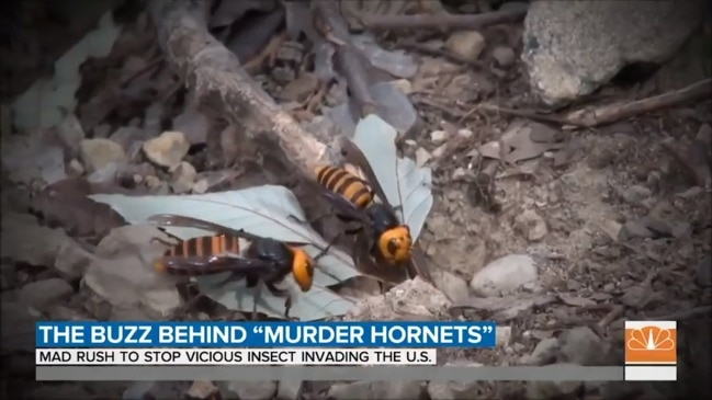'Murder hornets' could decimate the bee population in the United States (TODAY)