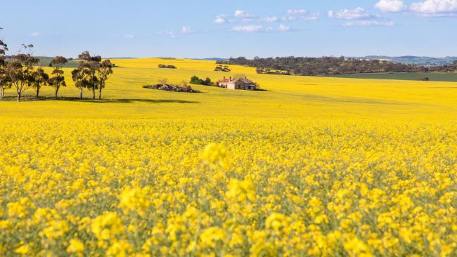 Canola fields, Clare Valley, SATo paraphrase Coldplay, it's all yellow when you drive along the Horrocks Highway towards Clare each spring when fields of sunny canola blanket both sides of the township. Plan a trip for 2021 – directions to fields in bloom are posted on the Clare Valley Wine, Food and Tourism site each year – and cap off your snapper session with a crisp glass of vino in the spiritual home of riesling. Picture: South Australian Tourism Commission