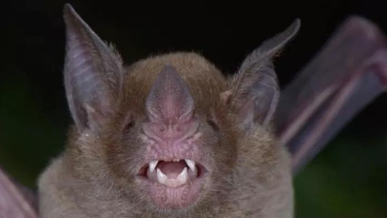 Pale-faced bats haven't been seen in Honduras for 75 years and were thought to be extinct. Picture: Trond Larsen/Conservation International