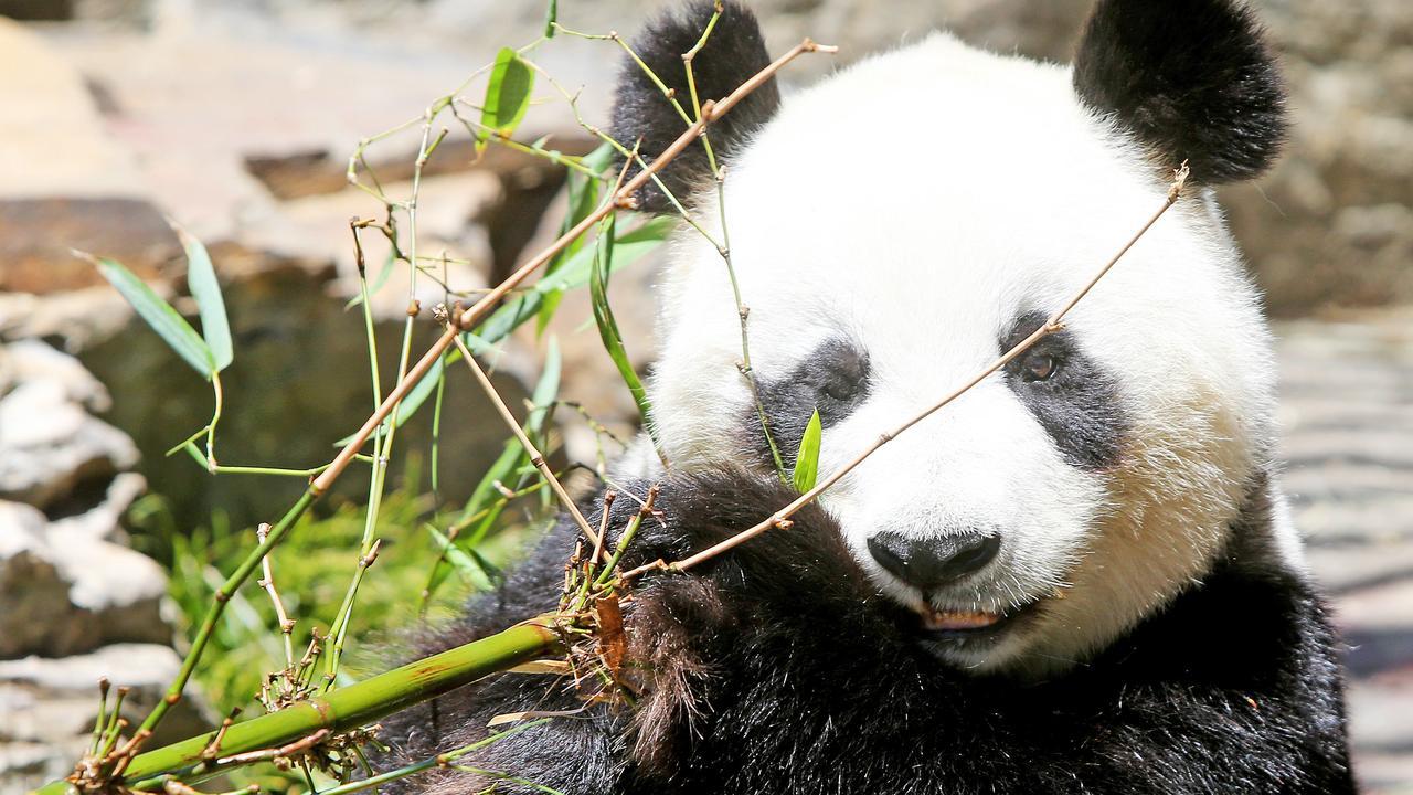 Giant panda Fu Ni snacking on bamboo in 2014 at Adelaide Zoo.