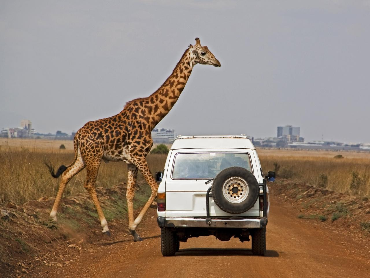 Masai giraffe crosses in front of a vehicle with city backdrop in Nairobi National Park, Kenya. Focus on vehicle. [url=http://www.istockphoto.com/file_search.php?action=file&text=safari&oldtext=&textDisambiguation=&oldTextDisambiguation=&majorterms=%7B%22csv%22%3A%22%22%2C%22conjunction%22%3A%22AND%22%7D&fileTypeSizePrice=%5B%7B%22type%22%3A%22Image%22%2C%22size%22%3A%22All%22%2C%22priceOption%22%3A%221%22%7D%2C%7B%22type%22%3A%22Illustration+%5BVector%5D%22%2C%22size%22%3A%22Vector+Image%22%2C%22priceOption%22%3A%22All%22%7D%2C%7B%22type%22%3A%22Flash%22%2C%22size%22%3A%22Flash+Document%22%2C%22priceOption%22%3A%22All%22%7D%2C%7B%22type%22%3A%22Video%22%2C%22size%22%3A%22All%22%2C%22priceOption%22%3A%221%22%7D%2C%7B%22type%22%3A%22Standard+Audio%22%2C%22size%22%3A%22All%22%2C%22priceOption%22%3A%221%22%7D%2C%7B%22type%22%3A%22Pump+Audio%22%2C%22size%22%3A%22All%22%2C%22priceOption%22%3A%221%22%7D%5D&showPeople=&printAvailable=&exclusiveArtists=&extendedLicense=&collectionPayAsYouGo=1&collectionSubscription=1&taxonomy=&illustrationLimit=Exactly&flashLimit=Exactly&showDeactivatedFiles=0&membername=&userID=4526176&lightboxID=&downloaderID=&approverID=&clearanceBin=0&vettaCollection=0&color=©Space=%7B%22Tolerance%22%3A1%2C%22Matrix%22%3A%5B%5D%7D&orientation=7&minWidth=0&minHeight=0&showTitle=&showContributor=&showFileNumber=1&showDownload=1&enableLoupe=1&order=Downloads&perPage=&tempo=&audioKey=&timeSignature1=&timeSignature2=&bestmatchmix=60&within=1]Other Safari Images[/url]