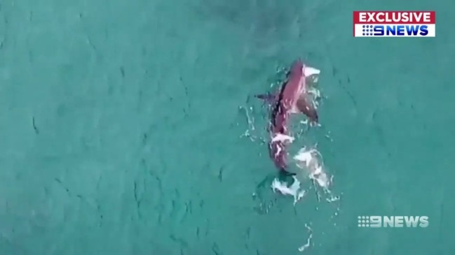 Great white shark mauls fish metres from swimmers at Bondi (9 News)