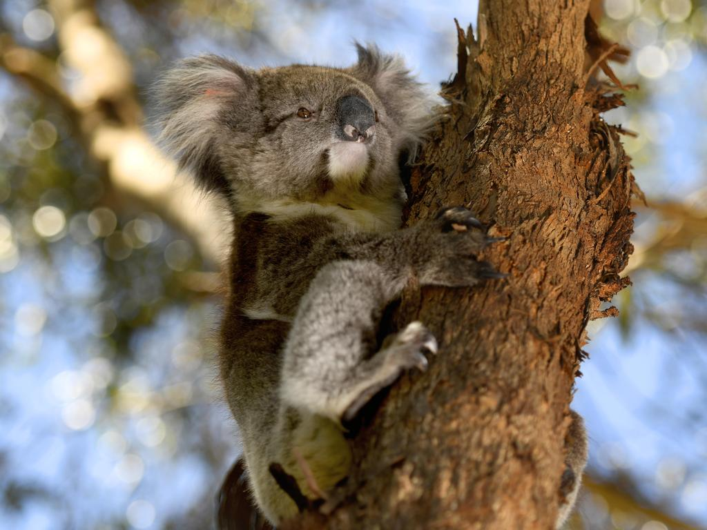 Some koala populations were wiped out across parts of NSW and Kangaroo Island in South Australia during the devastating black summer bushfires. Picture: Naomi Jellicoe