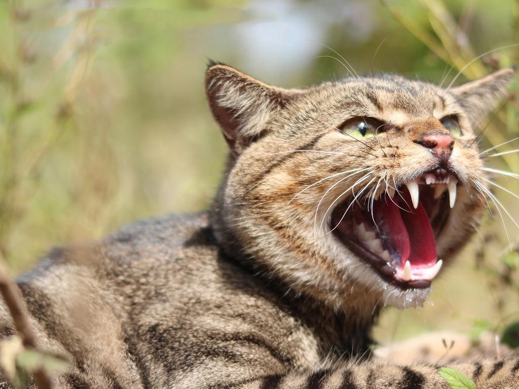 Feral cats pose a danger to wildlife. Picture: SA Department of Primary Industries and Regions (PIRSA)