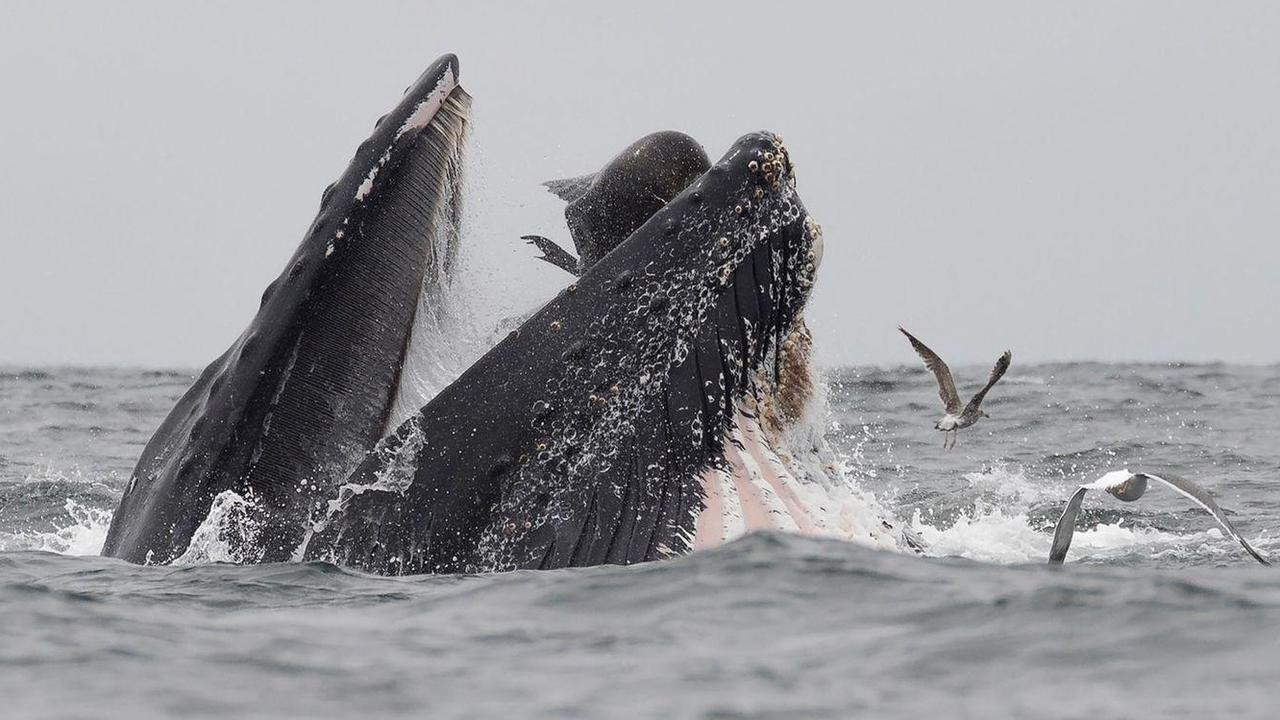 Luckily, the sea lion escaped as a humpback's throat is relatively small