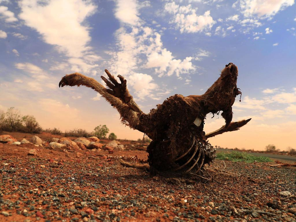 The carcass of a kangaroo is seen by the side of the road in Wilcannia in March. Livestock and wildlife are dying as a result of the extended drought. Picture: Mark Evans/Getty Images