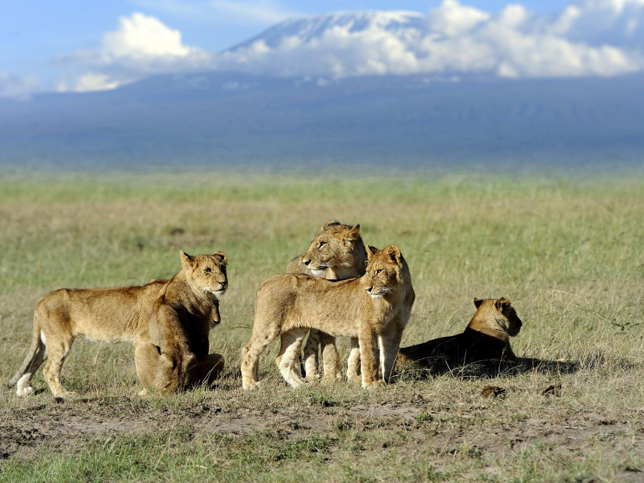Lions on the savanna with Mount Kilimanjaro in the background. Picture: iStock