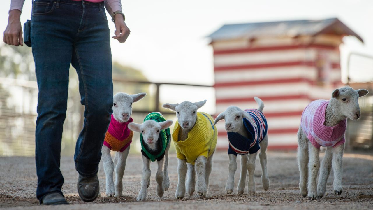 Newborn lambs all over Australia, orphaned and weakened by drought, are wearing woolly jumpers made to get through their first few days in chilly winter weather. Picture: Eugene Hyland