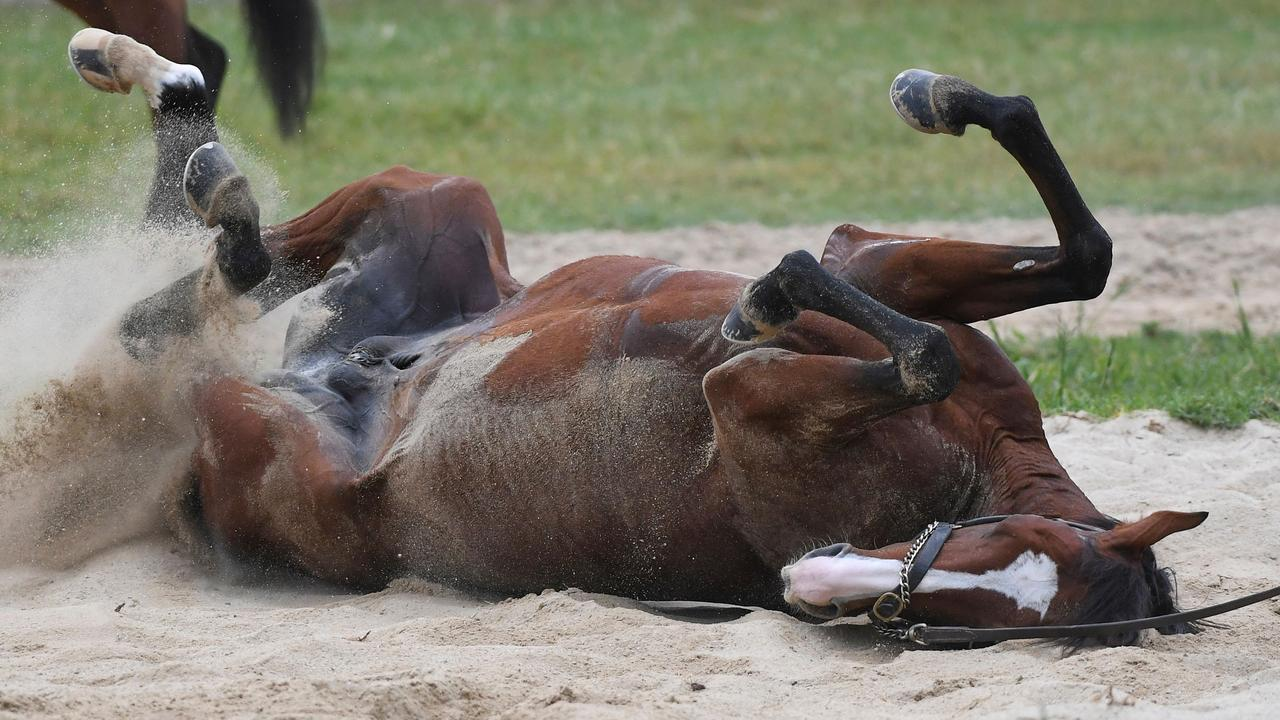 Anthony Van Dyck enjoying a sand roll after galloping at Werribee at the weekend.