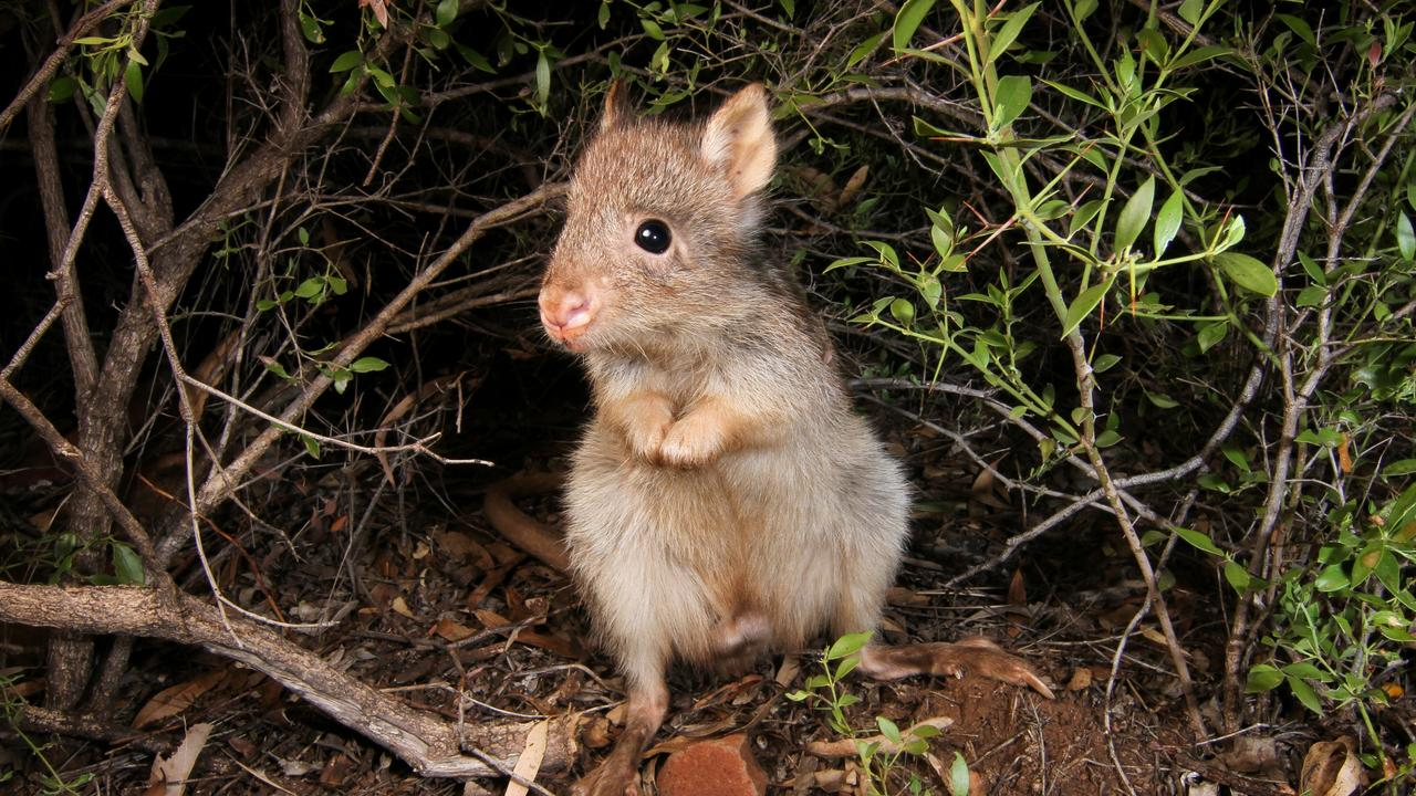The long-nosed potoroo, this one at Aussie Ark, a conservation organisation in Barrington Tops, NSW.