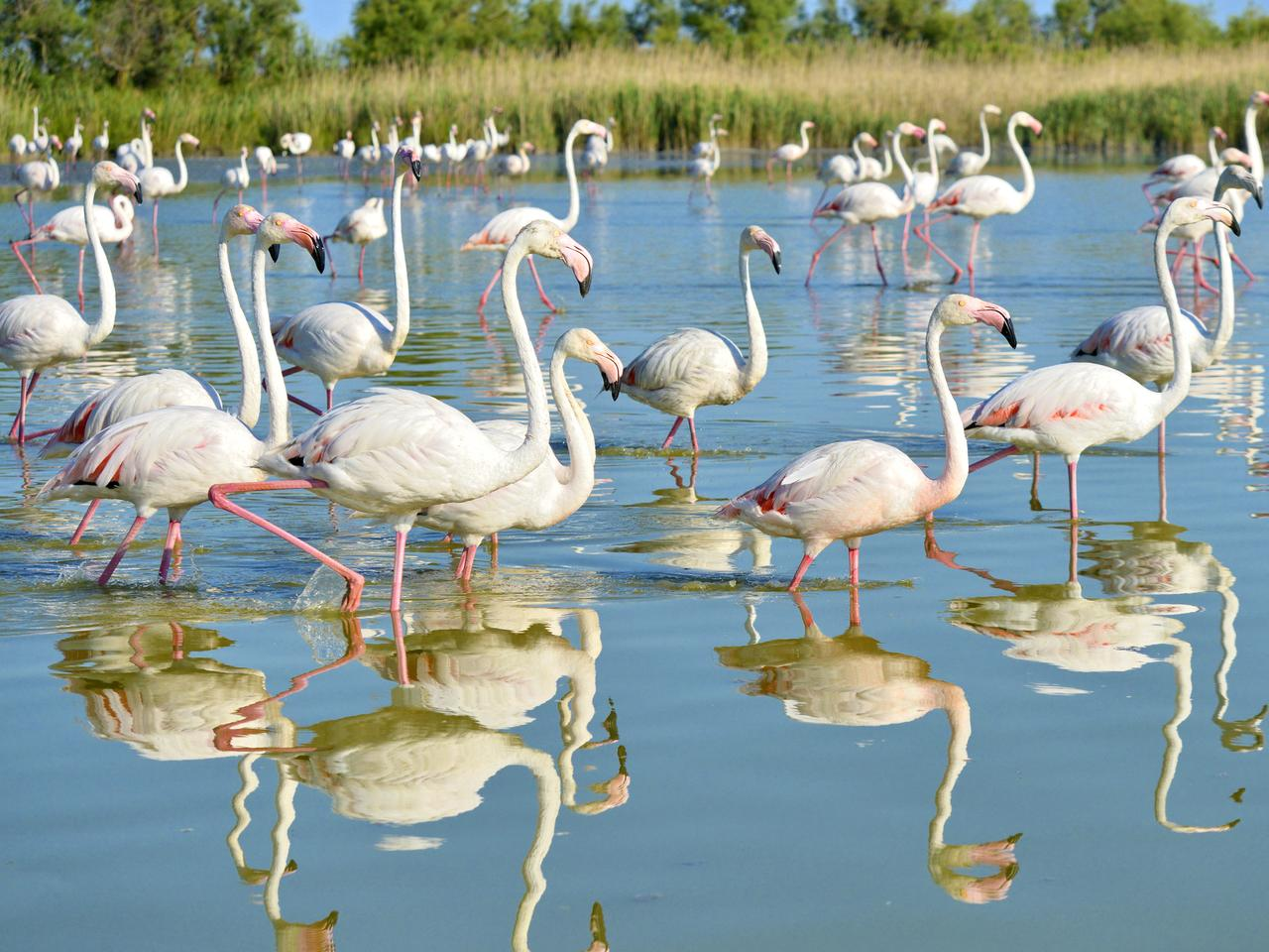 Group of flamingos (Phoenicopterus ruber) walking in water with big reflection, in the Camargue is a natural region located south of Arles, France, between the Mediterranean Sea and the two arms of the Rhône delta