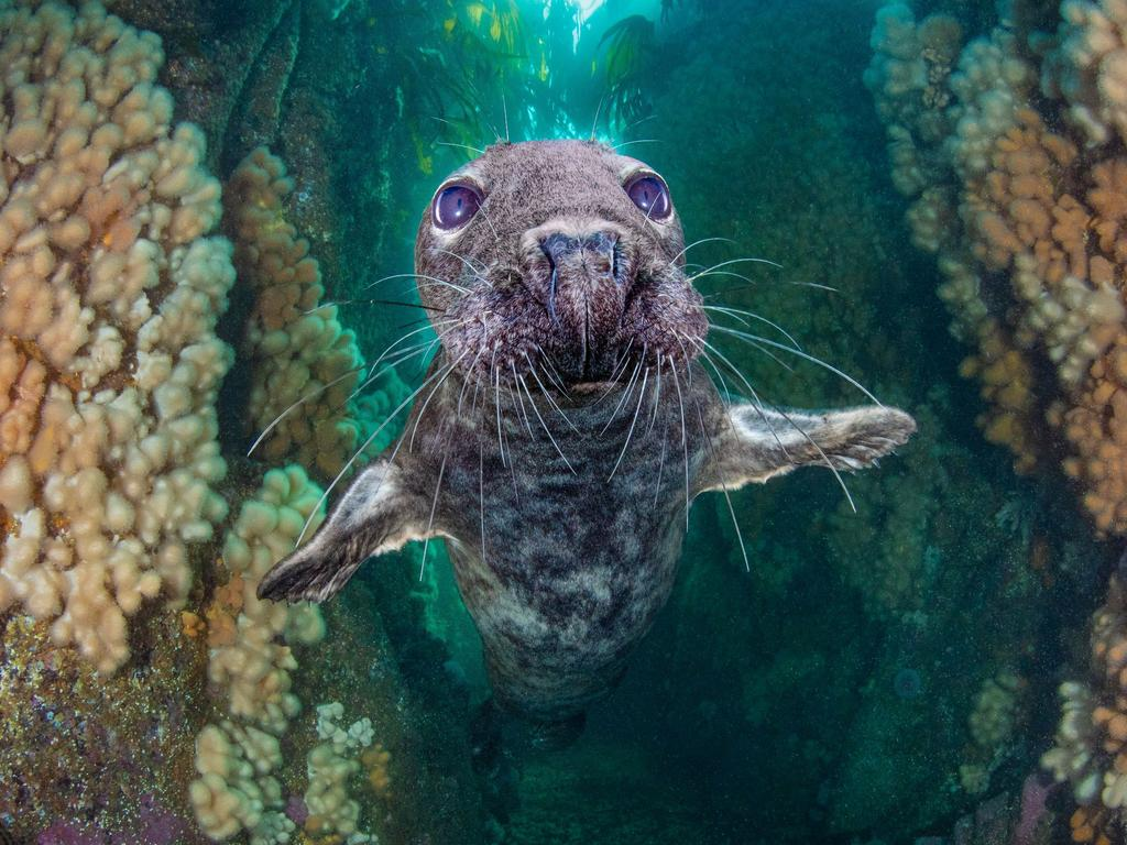 A seal emerging from an underwater gully. Picture: Kirsty Andrews/Underwater Photographer of the Year Awards 2021