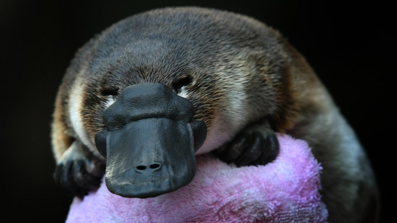 Ember, a baby platypus that was cared for at Healesville Zoo, Victoria in 2009 after bushfires in the area.