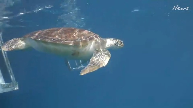 Tour of the Tropics 2020: Turtle released into Great Barrier Reef