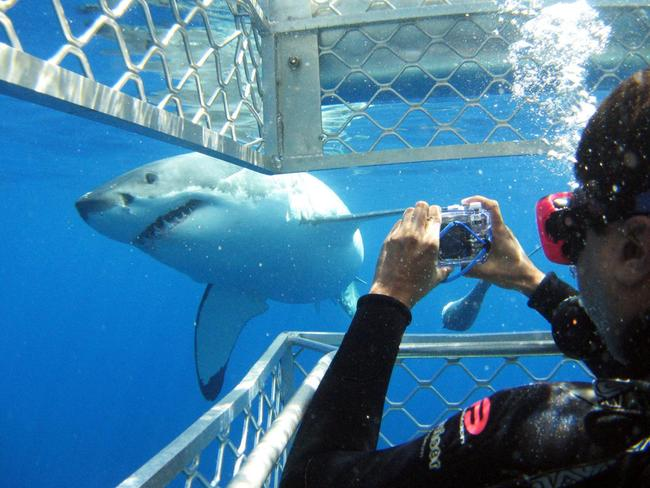 3. SWIM WITH SHARKS Watch as many video clips as you like but nothing will prepare you for a nose-to-nose encounter with a great white shark. Calypso Star Charters was named Australia's best tourist attraction last year for its daylong cage diving tours out of Port Lincoln.