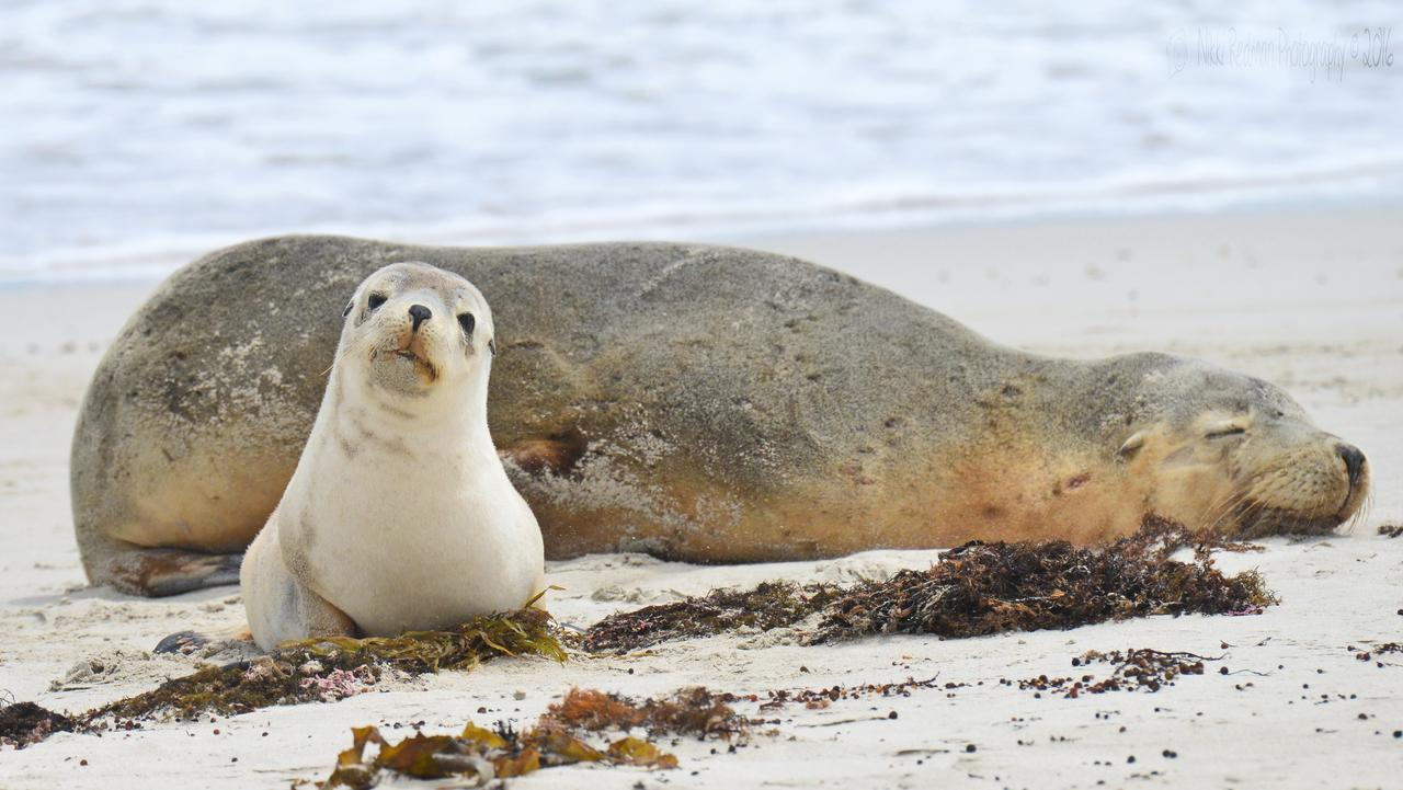 Sea lion and pup on Kangaroo Island in South Australia. Picture: Nikki Redman. ONE TIME USE. Supp