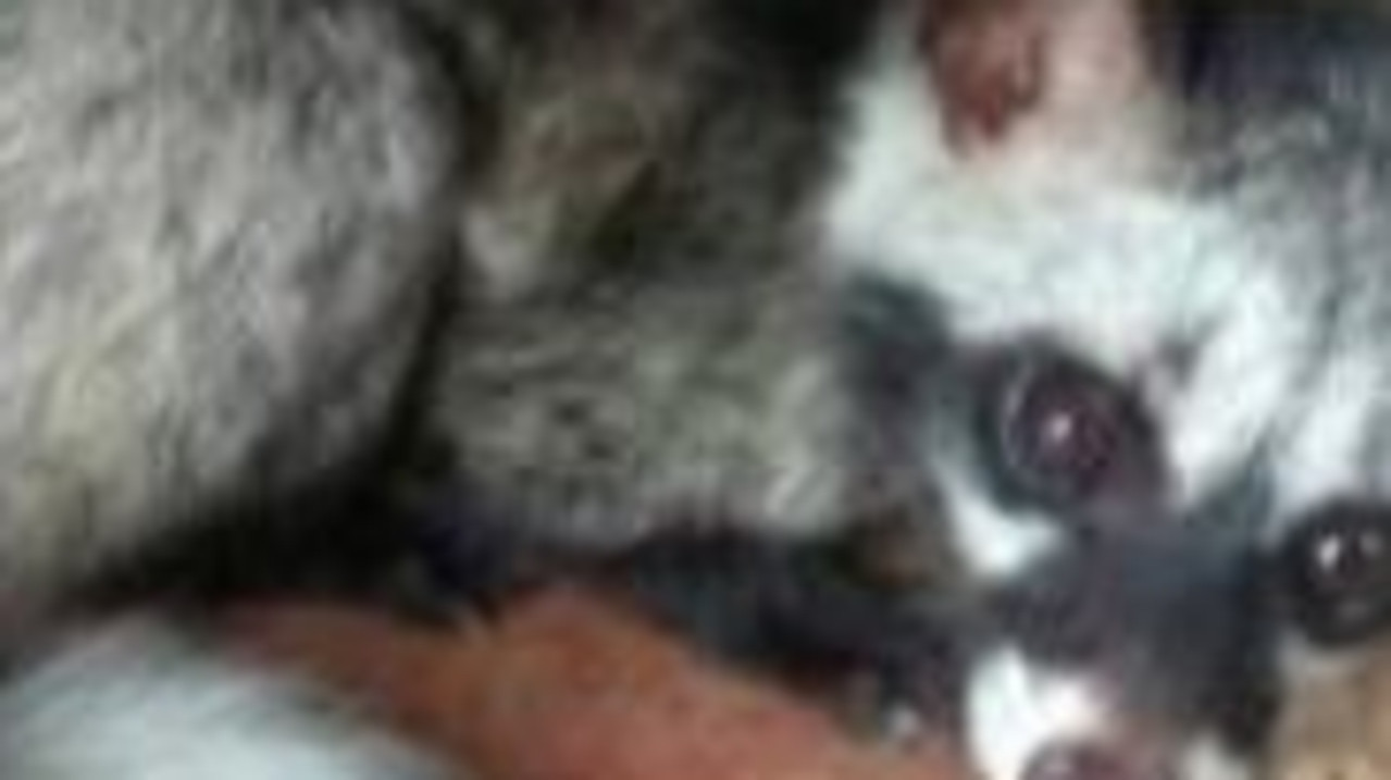 A civet advertised for sale on Facebook. Picture: WWF/Reuters