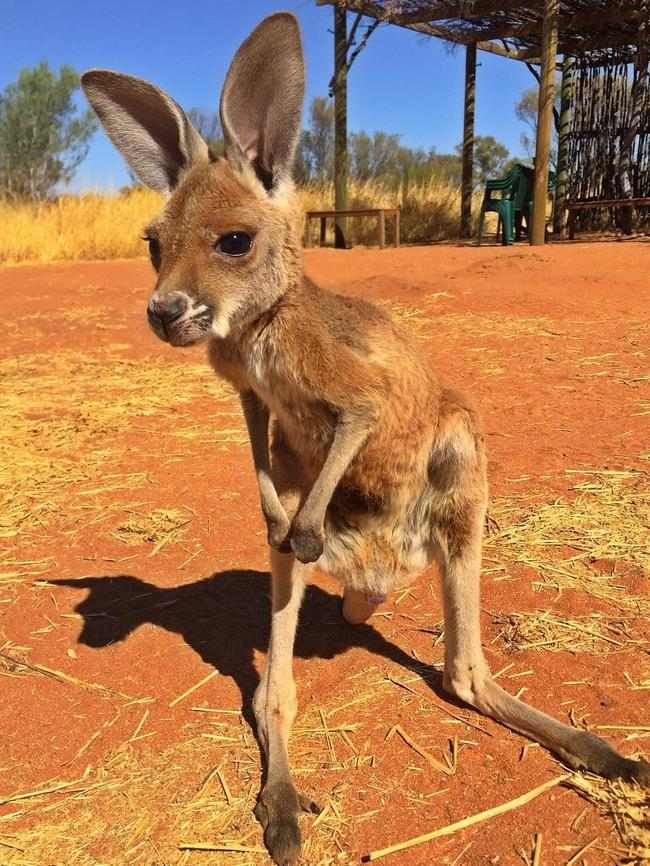 """""""Hey, what's that over there?"""" says darling Milly. Picture: @thekangaroosanctuary/Instagram"""