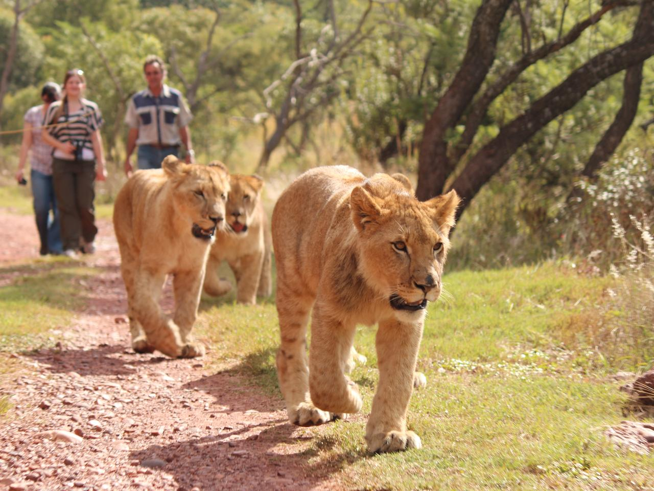 The Lion King 2019 Where To See Them On An African Safari Photos Escape Com Au