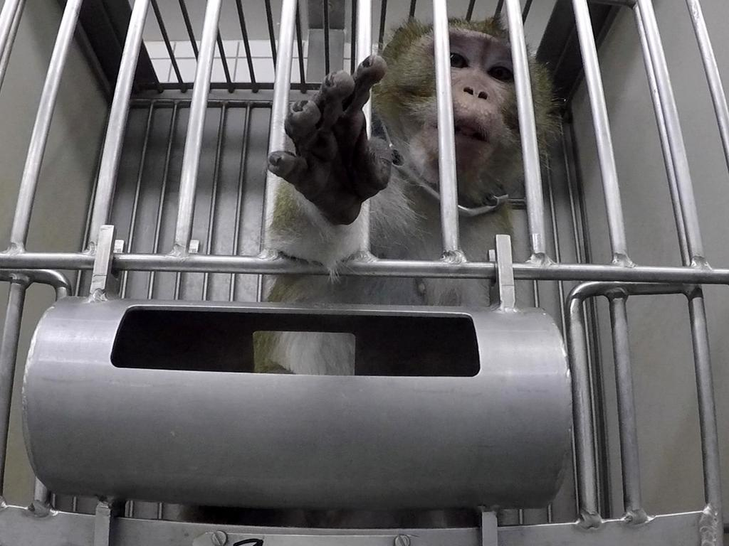Another monkey in a cage. Picture: Cruelty Free International/Newsflash/australscope