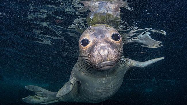 7/42Coronado Island, Mexico An adorable northern elephant seal pup plays in the water shallows of Coronado Island, Mexico. Picture: Celia Kujala/Ocean Art 2020
