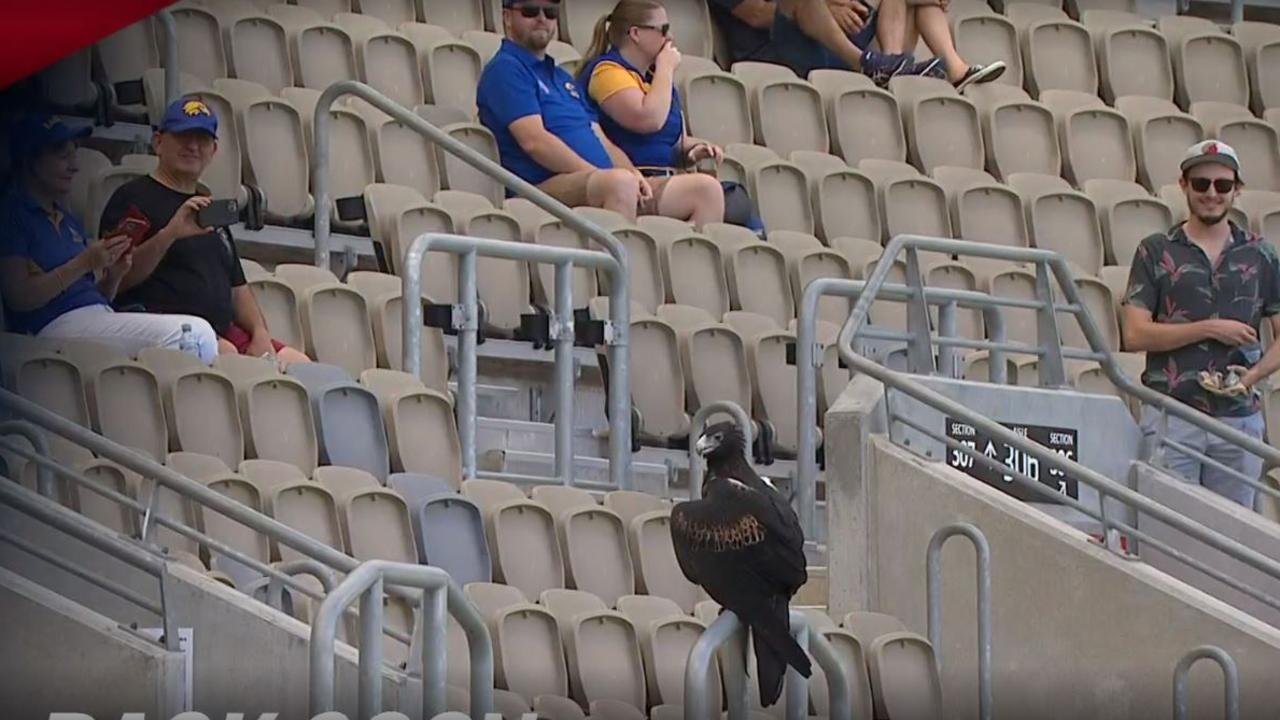 West Coast's mascot Auzzie the Eagle flew around Optus Stadium before the AFLW Derby.